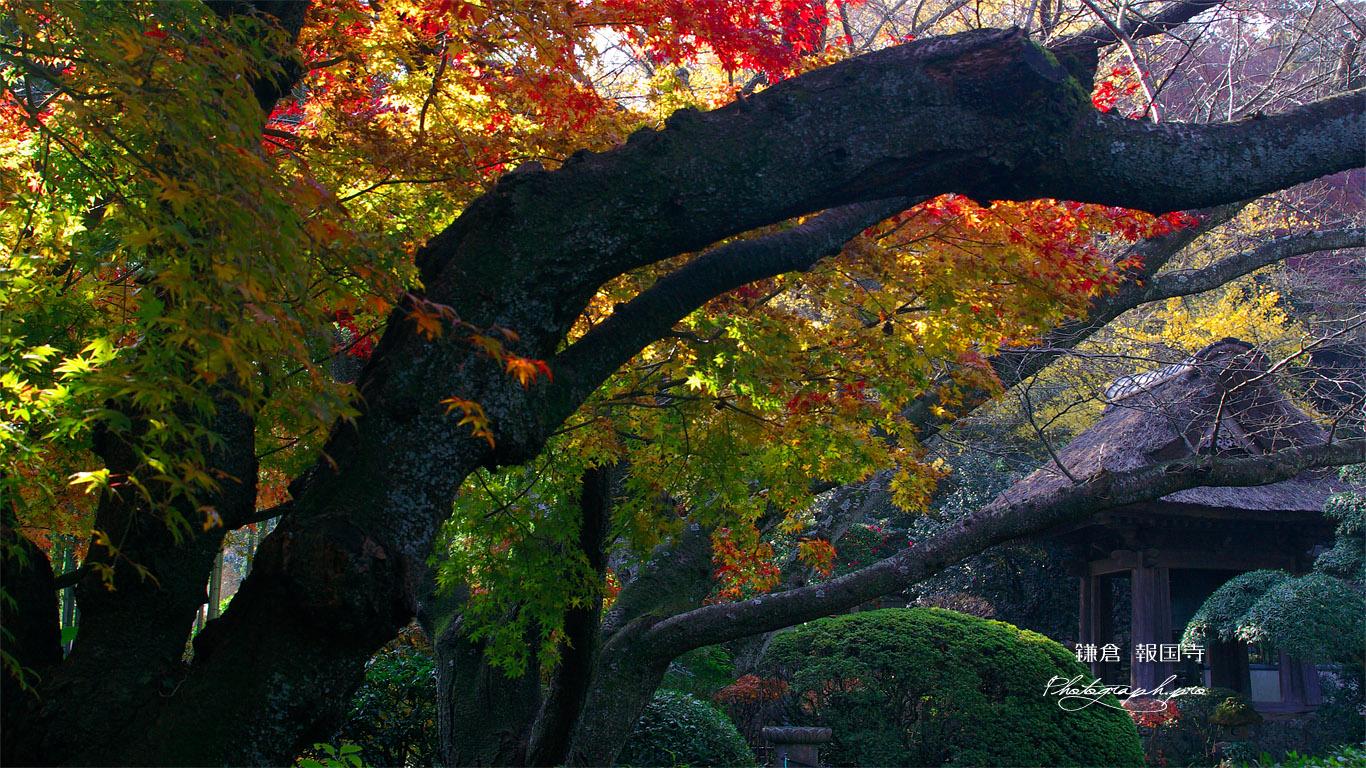 鎌倉報国寺 紅葉と鐘楼 壁紙
