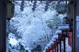 貴船神社 南門越しに雪の花