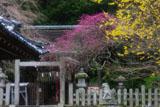 大豊神社 蝋梅と枝垂れ梅