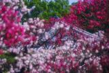 梅と小野小町