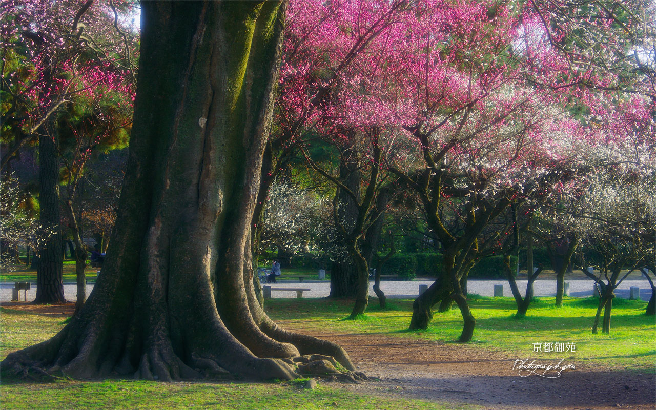 京都御苑の梅林 壁紙