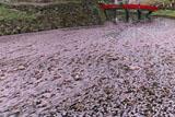 弘前城の花いかだ