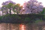 芦野公園藤沢溜池の桜