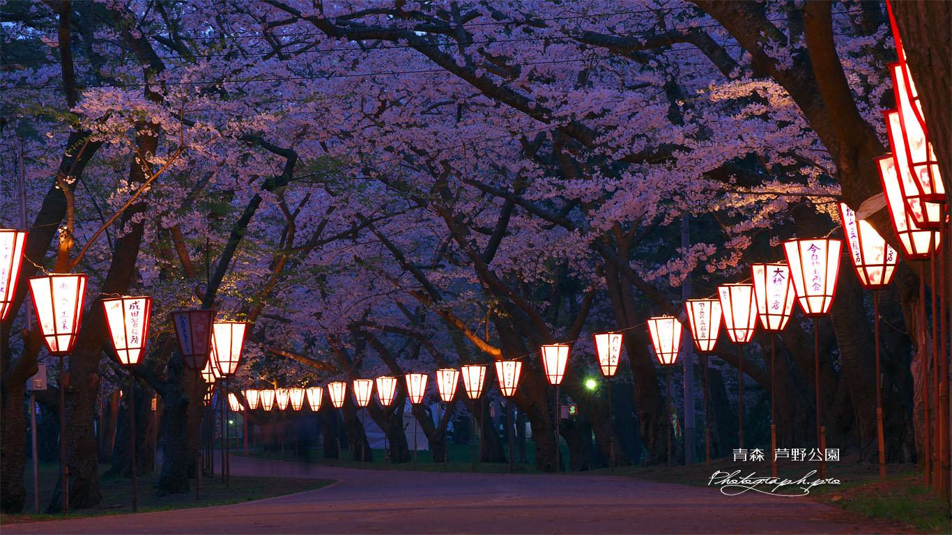 芦野公園金木桜まつり の壁紙 1366x768