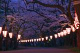 芦野公園金木桜まつり