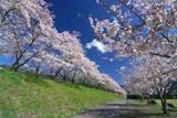 大井川鉄道桜並木