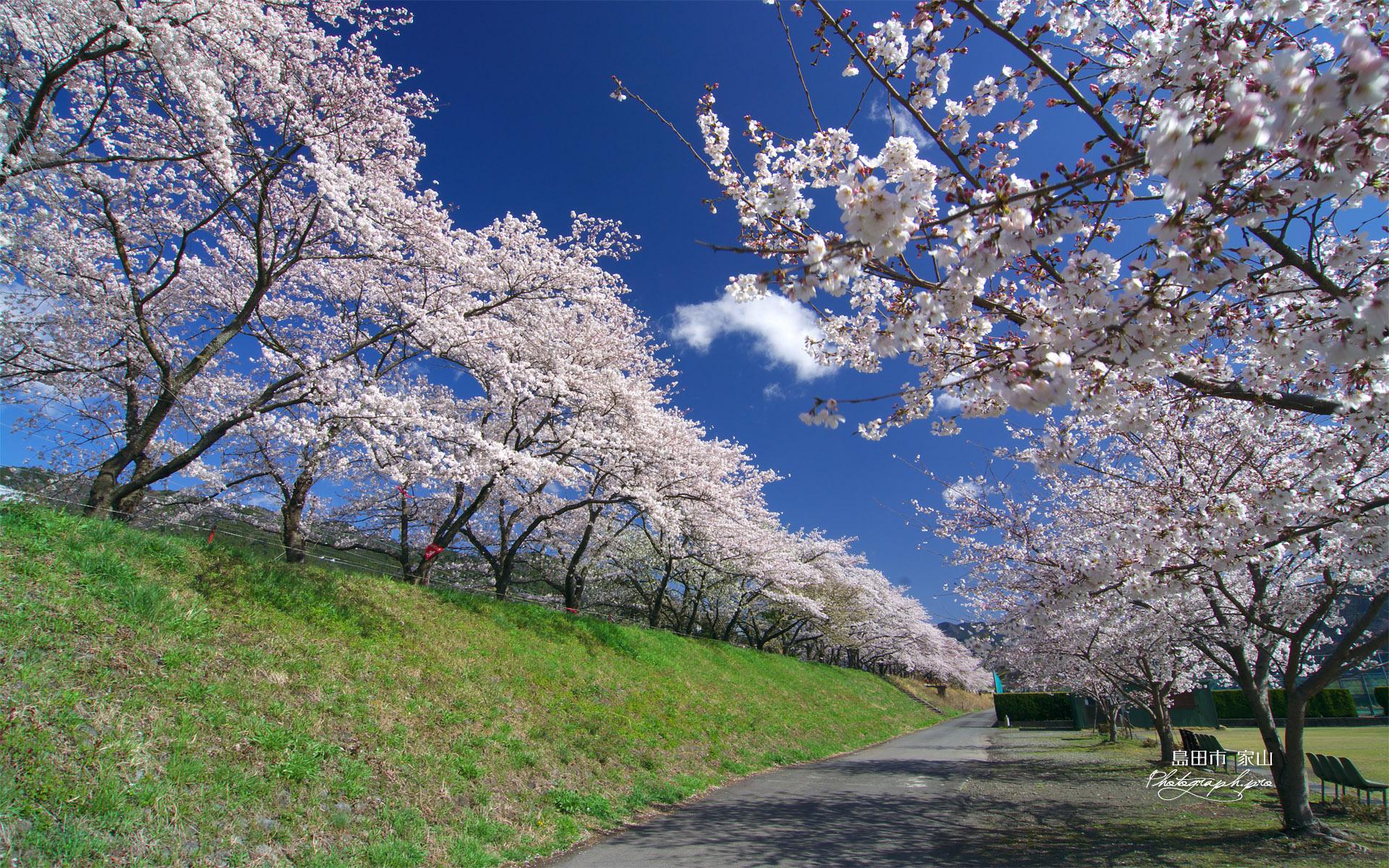 大井川鉄道桜並木 の壁紙 19x10