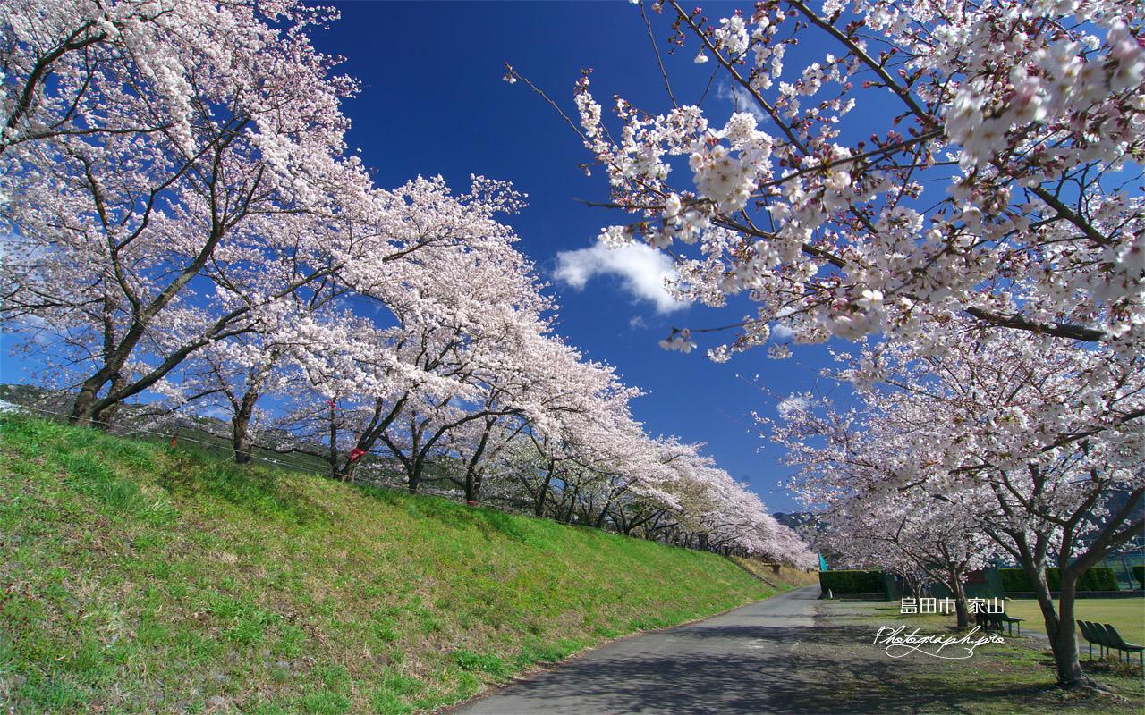 大井川鉄道桜並木 壁紙