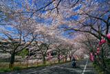 緑地公園桜並木
