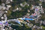大井川横断鯉のぼり