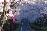 家山の桜トンネル