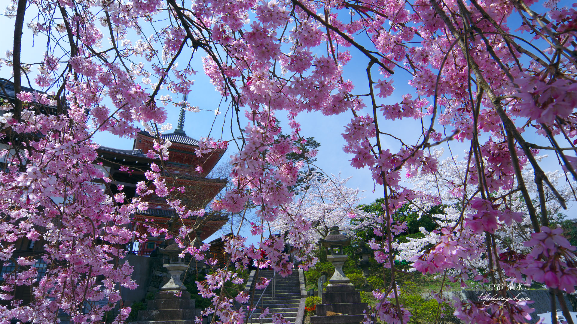 清水寺のシダレザクラ