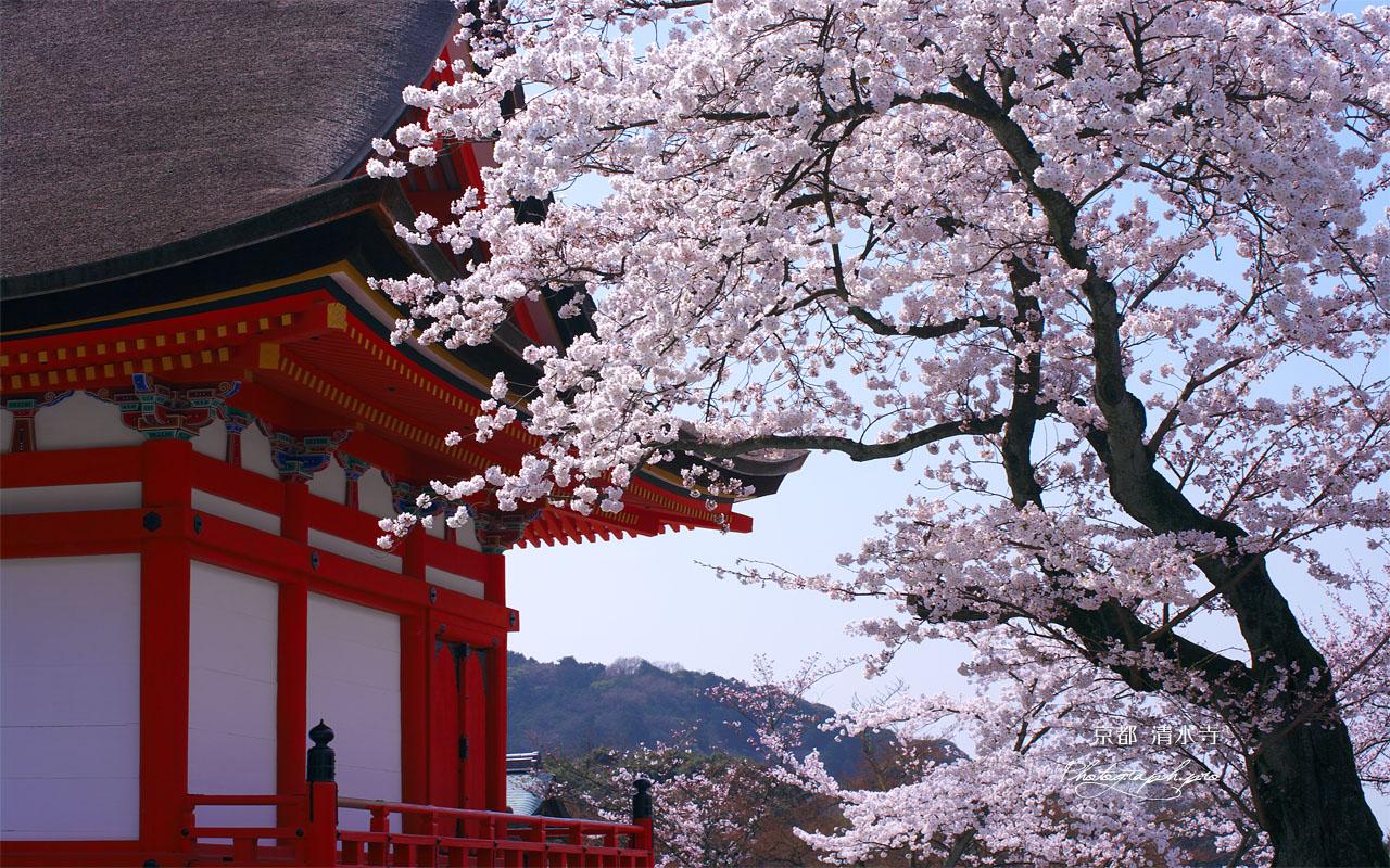 清水寺の桜と田村堂 壁紙