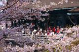 桜越しの清水の舞台