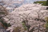 京都霊山護国神社 桜と京都市街