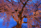 円山公園 宵の祇園しだれ桜