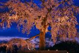 円山公園 祇園枝垂桜ライトアップ