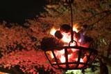 円山公園 篝火と祇園の夜桜