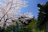 大雲院 桜と円山地蔵尊