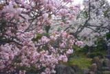 二条城 御所御車返しの桜