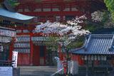 八坂神社南楼門の桜
