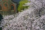 蹴上インクライン 桜と蹴上発電所