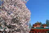平安神宮 左近の桜と蒼龍楼