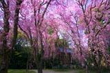 平安神宮 南神苑の八重紅枝垂桜