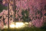 平安神宮 夕陽煌く栖鳳池と紅枝垂桜