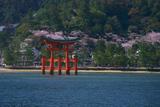 宮島の桜 海に浮かぶ大鳥居