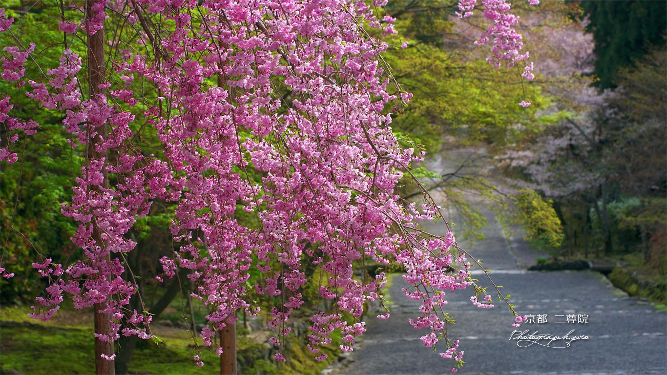 二尊院紅葉の馬場の枝垂桜 壁紙
