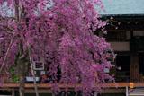紅枝垂れ桜と二尊院本堂
