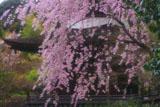 常寂光寺 紅枝垂桜と多宝塔