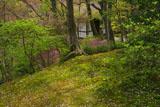 常寂光寺 山桜の散花と仁王門