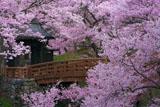 高遠城址公園の桜 朝の桜雲橋