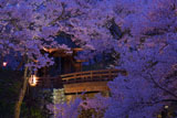 高遠城址公園の桜 桜雲橋ライトアップ