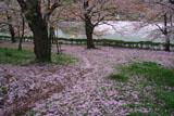高田公園の桜 花むしろ