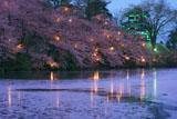 高田公園の桜 花いかだ
