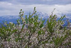 大河津分水桜並木