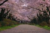 北上展勝地の桜のトンネル