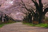 北上展勝地の桜の貫禄のある樹幹