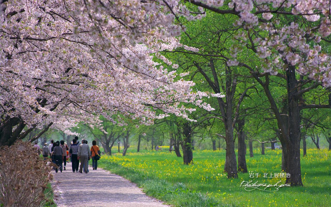 桜と新緑 壁紙