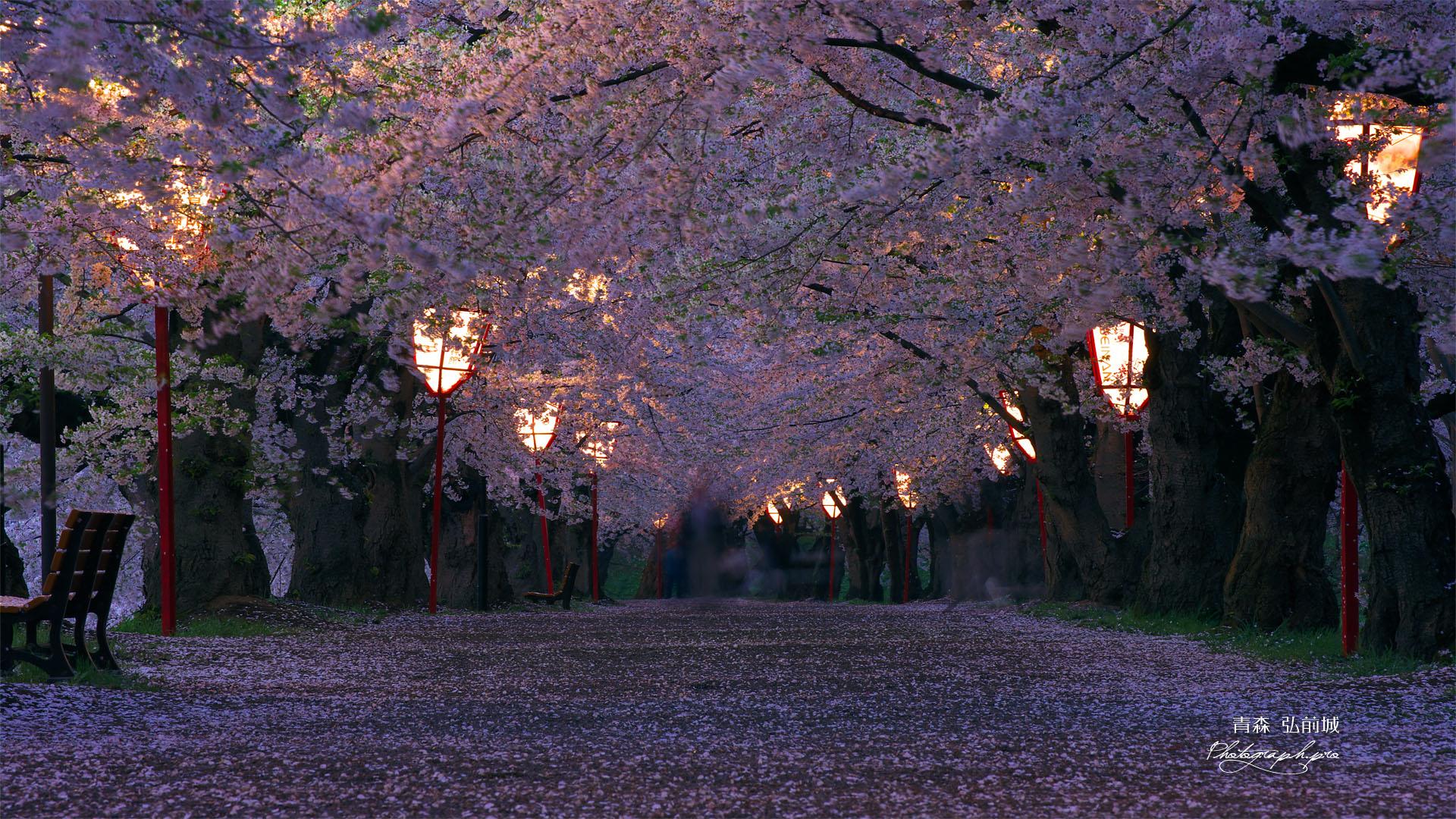 夜桜 高 画質