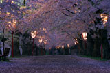 弘前城 桜のトンネル夜桜