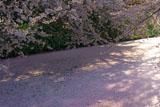 弘前城外濠の花筏
