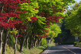 比叡山 新緑と春モミジ