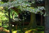 延暦寺西塔 八重桜と常行堂