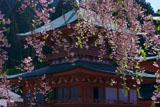 比叡山延暦寺 枝垂桜越しの法華総持院東塔