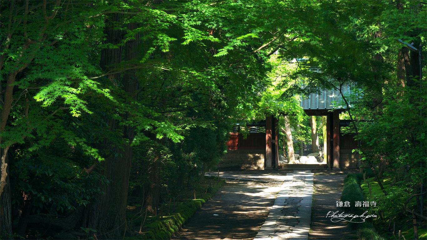 寿福寺 新緑の参道 壁紙