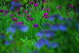 東慶寺 紫陽花越しの花菖蒲